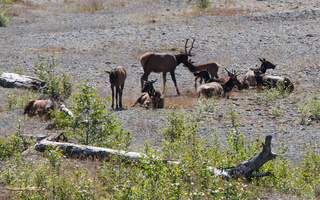 Roosevelt Elks along the Hoh River