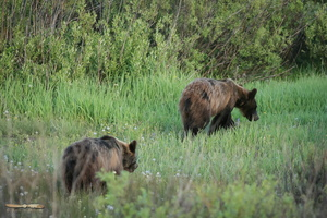 Pair of young grizzlys